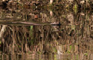 De otter heeft schoon water nodig waar veel vis in leeft, fotograaf Mark Zekhuis