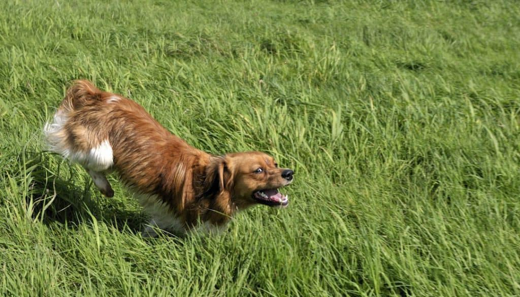 kooikershond lang gras