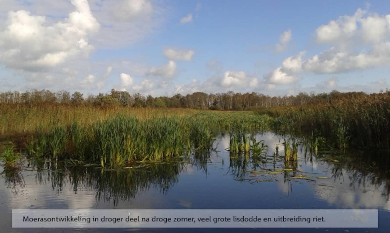 Moerasontwikkeling in droger deel na droge zomer, veel grote lisdodde en uitbreiding riet.
